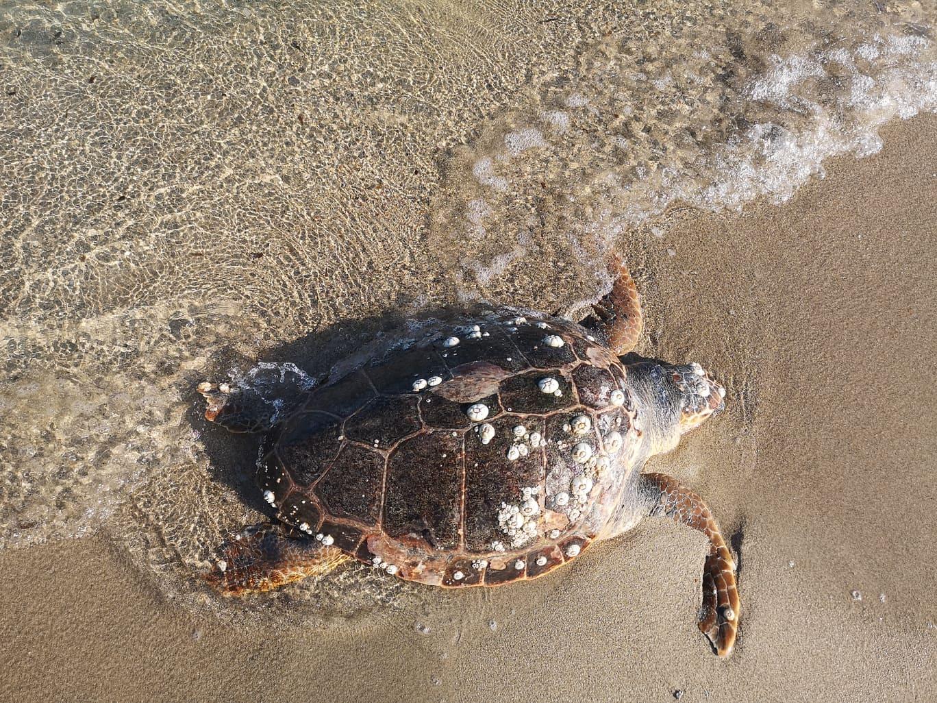 Una tartaruga morta spiaggiata a Torre Rinalda